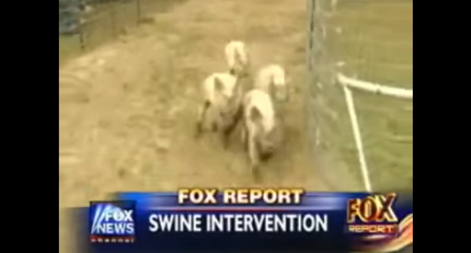 Texas Man Holds Pig Races to Protest Islamic Neighbor's Request to Move or Get Rid of Pigs