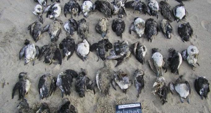 'Unprecedented' Mass Death of Seabirds in Western U.S. Baffles Experts