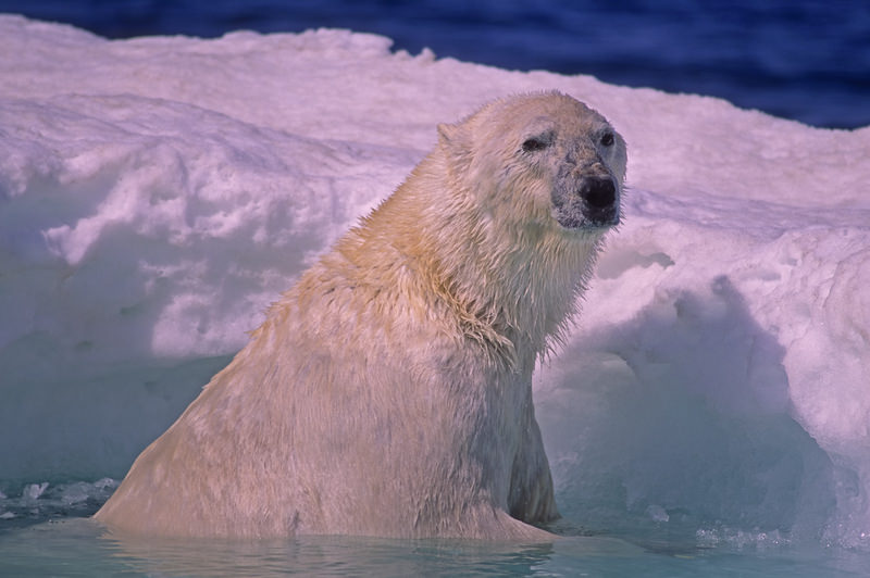 polar bear arctic ice