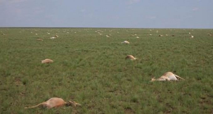 60,000 Antelope Dies Within Four Days, Nobody Can Say Why
