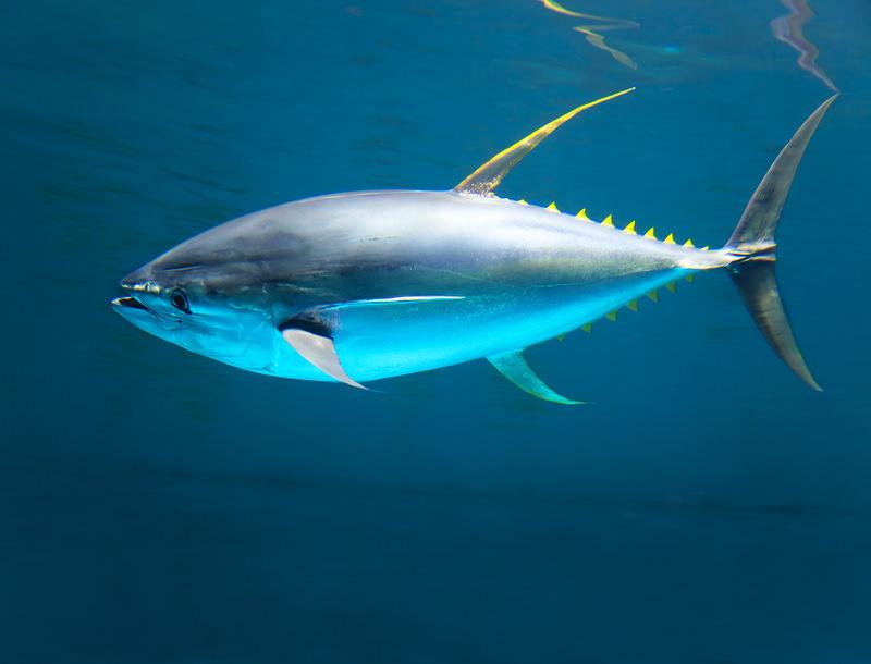 Radioactive tuna live in california page 2 of 2 truth for Tuna fishing california