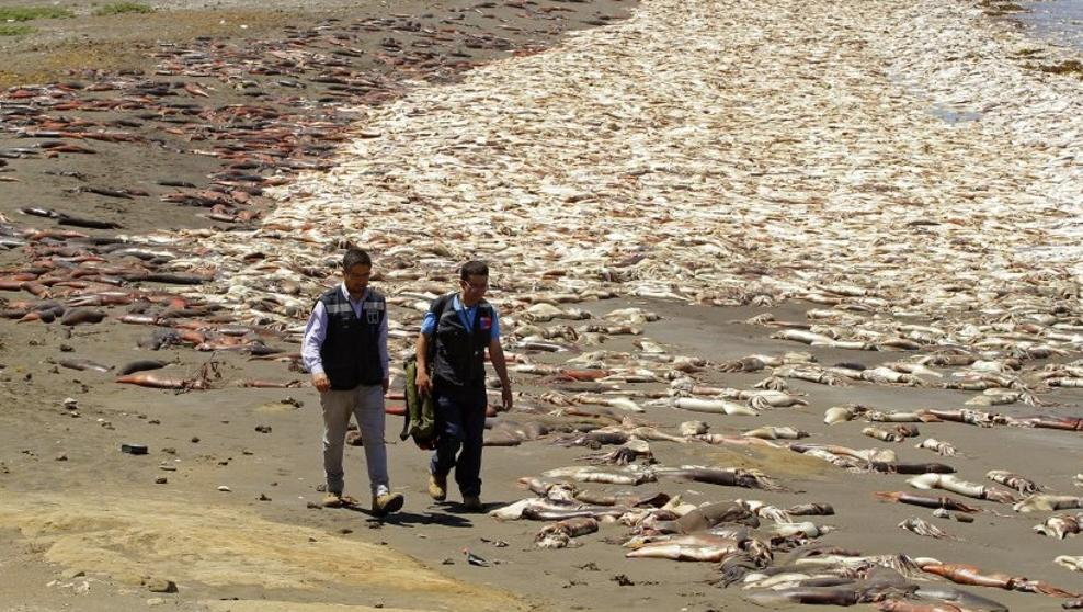 Thousands of Dead Squid Wash Up on the Shores of Chile, Fukushima Related?