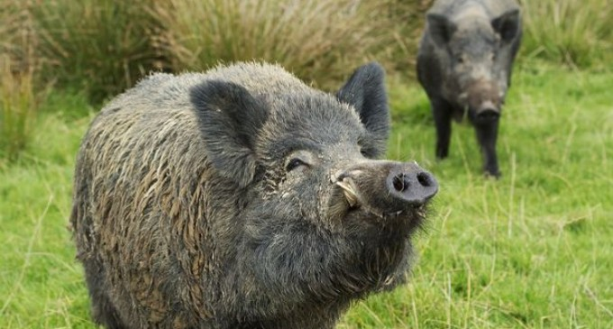 Rampaging Radioactive Wild Boars Wreak Havoc Around Fukushima