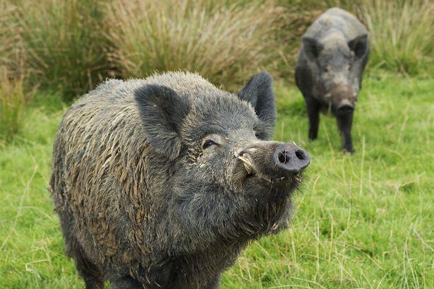 wild boars Fukushima