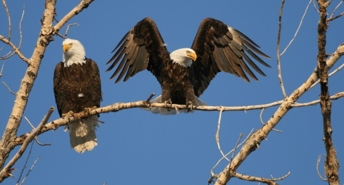 Obama Admin Proposes 30-Year Permits for Wind Farms to Kill Eagles