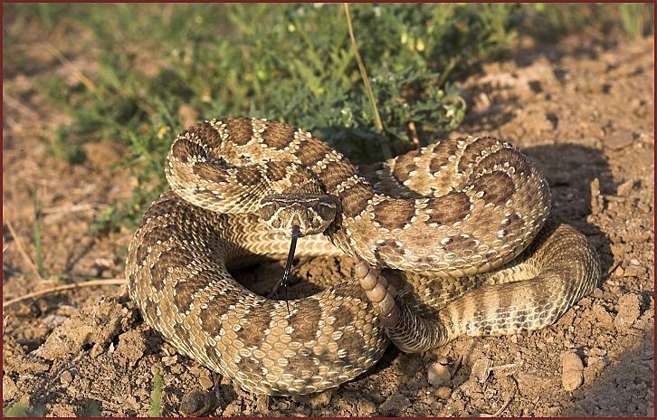 prairie_rattlesnake2