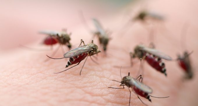 Millions of Gentically Modified Mosquitoes Set for Release in Florida
