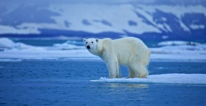 polar ice bear