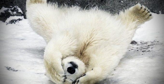 polar bear on back