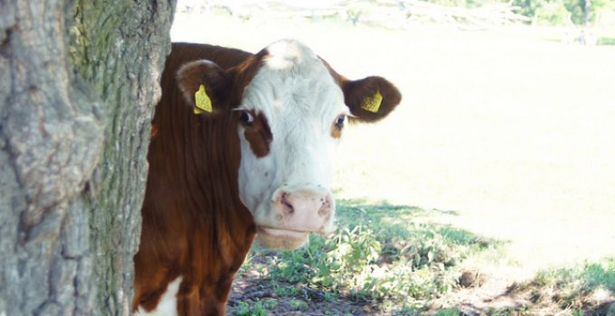 surprised cow tree