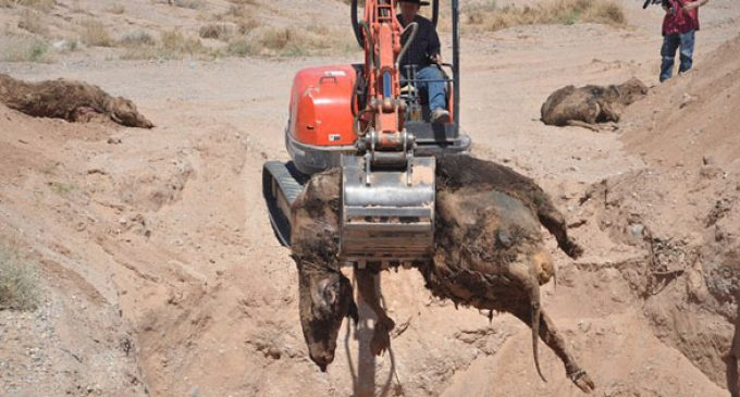 BLM Illegal Cattle Massacre: This is NOT How to Herd Cows