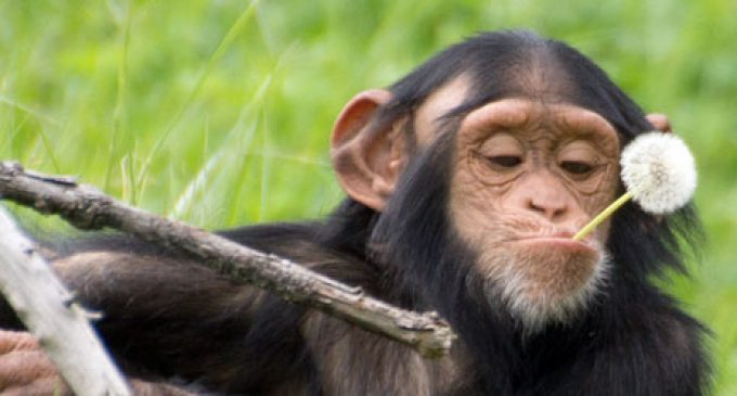 Bizarre Progressive Activist Lawsuit: Chimps are Like African Americans