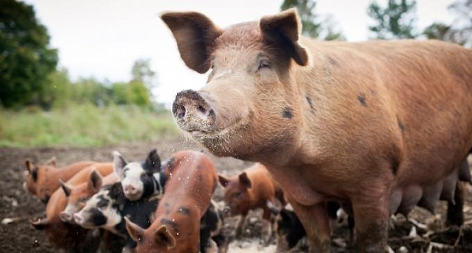 Michigan Bans Raising Animals On Small Farms